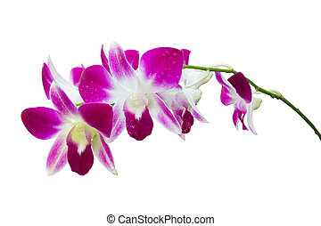 bouquet of dendrobium Orchids contain purple,white,and yellow co