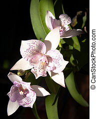 Diacattleya Chantilly Lace Twinkle - Bouquet of Diacattleya...