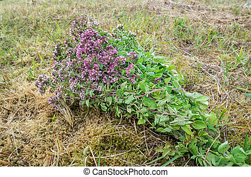 bouquet of flowering mint on a crooked field
