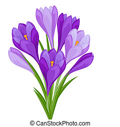 Bouquet of flowers crocus on white background.