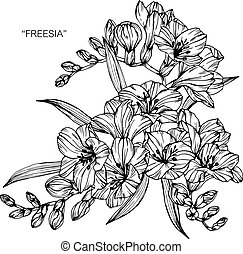Bouquet of freesia flowers drawing.