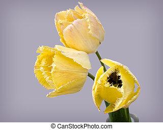 Bouquet of fringed tulips 'Fringed Elegance'