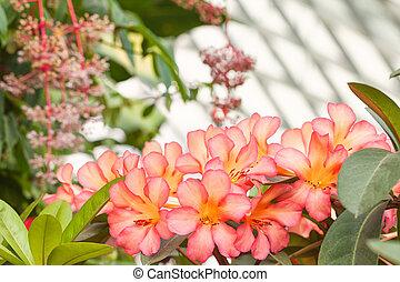 Bouquet of Hawaiian tropical pink flowers plumeria.