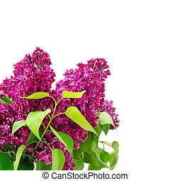 Bouquet of lilac in a glass vase isolated on white. Free space for text.