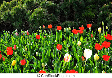 Bouquet of Multi Color Tulips with green background.
