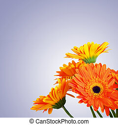 Bouquet of orange Gerber - Background for design with a...