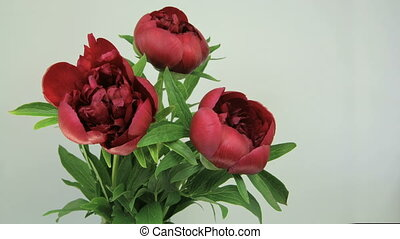 Bouquet of peony Flowering - Red peony blooming on white...