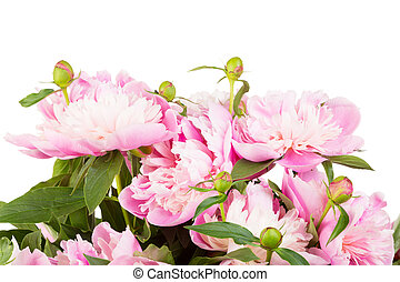 Bouquet of pink peonies on a white gradient background