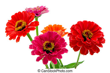 Bouquet of pink red and orange zinnia flowers isolated on white background.