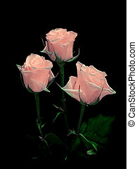 bouquet of pink roses on a black background