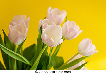 bouquet of pink tulips on a bright yellow background