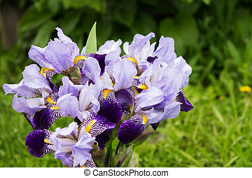 bouquet of purple irises on a blurred background of grass