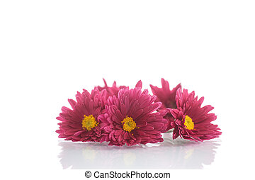 bouquet of red chrysanthemums on a white background