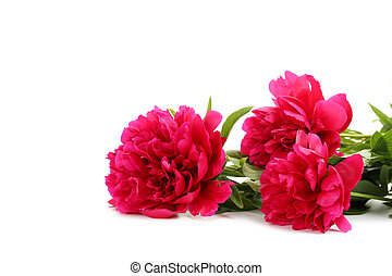 Bouquet of red peony flowers isolated on a white