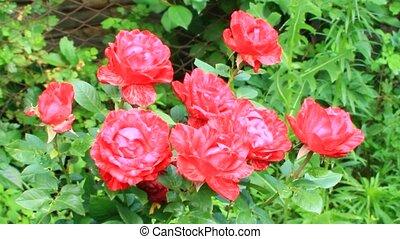 Bouquet of red roses growing in garden