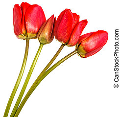 Bouquet of red tulips. Isolated on white