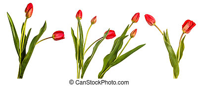 Bouquet of red tulips. Isolated on white. Set