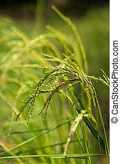 Bouquet of rice plant