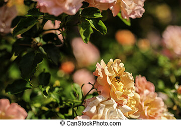 bouquet of roses in the garden