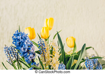 Bouquet of spring flowers. Yellow tulips, hyacinths, blue muscari bloom at home. Holiday decor