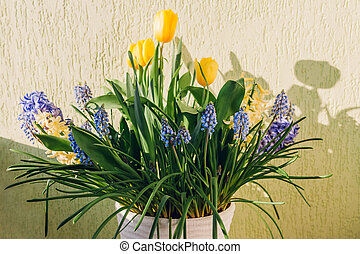 Bouquet of spring flowers. Yellow tulips, hyacinths, blue muscari grow in pot. Holiday decor