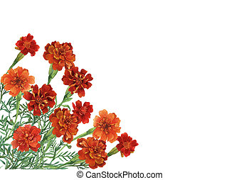 Bouquet of Tagetes patula, the French marigold. Watercolor hand painting illustration on isolate white background.