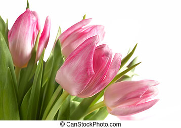bouquet of the fresh pink tulips