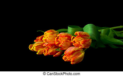 bouquet of tulips isolated on black background