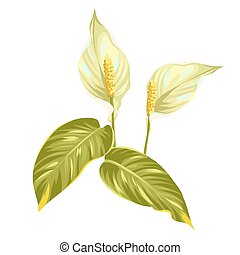 Bouquet of two decorative flowers spathiphyllum on white background