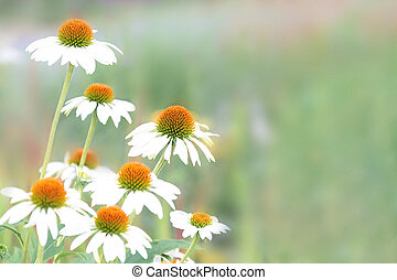 Bouquet of white echinacea on a green background.