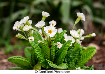 Bouquet of white flowers, on a flower bed in springtime.