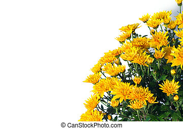 bouquet of yellow chrysanthemums on a white background
