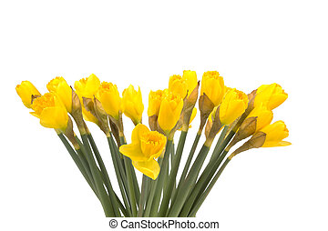 bouquet of yellow lent lily (daffodil) isolated on white...