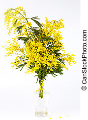 Bouquet of yellow mimosa in a transparent glass on a white background, isolated