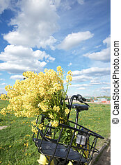 Bouquet of yellow rape in a bicycle basket. On the blue sky fluffy clouds.