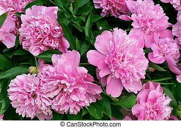 bouquet, pivoines, rose, frais