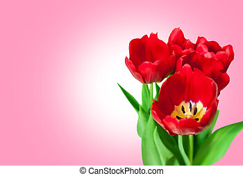 Bouquet red tulips isolated on pink background