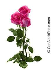bouquet, roses, fond blanc