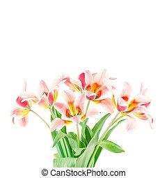 bouquet, tulipes, fond, isolé, fleurs blanches