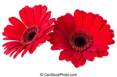 bouquet, vue, tulipes, fond, deux, closeup., isolé, fleurs blanches, lay., shadow., air, tas, sommet rouge, plat, sans