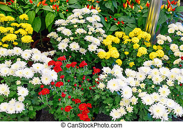 Bouquets of multicolored chrysanthemums for sale
