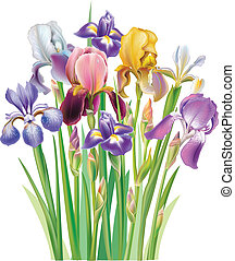 bouquetten, iris, bloem