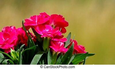 bouquetten, van, rode bloemen