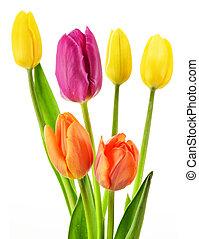 bouquetten, van, tulpen, op wit, achtergrond., tulipa