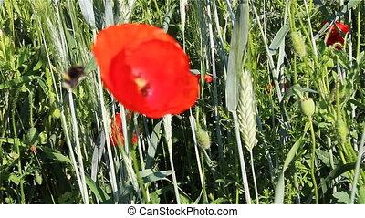 bourdon, fleur, papaver, macro, rhoeas, rouges