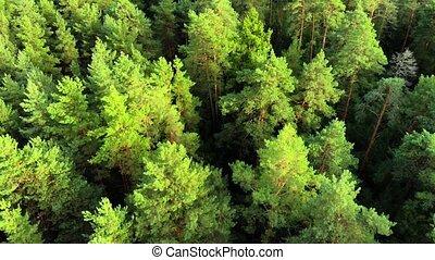 bourdon, pin, vol, perspective, sur, forêt