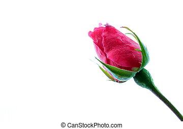 bourgeon, rose