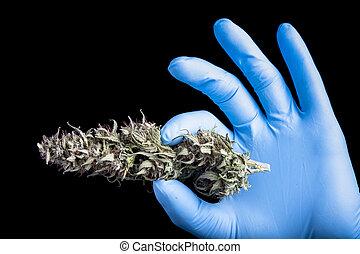 bourgeon, sec, cannabis, gant, main, bleu
