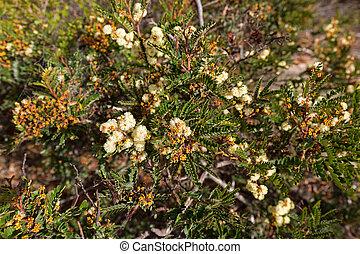 bourgeons, canisse, floraison, soleil, jaune, automne, tasmanie, australie, pendant, fleurs
