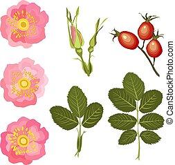 bourgeons, fleurs, feuilles, rose générique